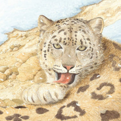 A close up of one of Patrick Benson's beautiful illustrations of a snow leopard